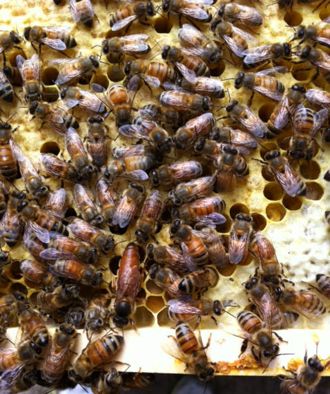 Honey Bees Queens For Sale | The Life of Bee - photo#41