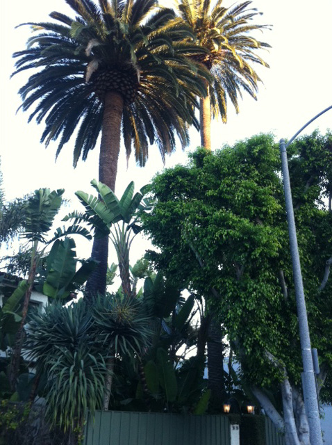 California Nature Palm Trees California Foliage2
