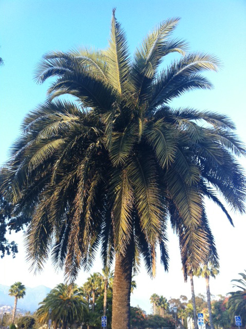California Nature Palm Trees California Foliage4
