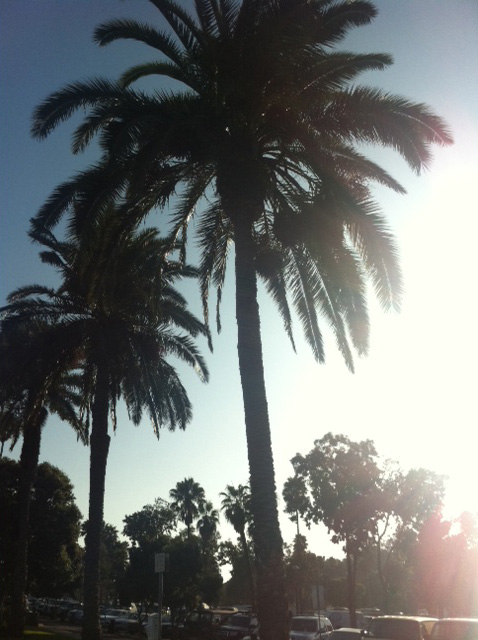 California Sun Drenched Nature Palm Trees