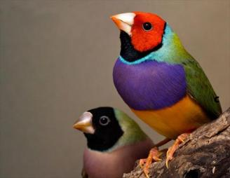 Lady Gouldian Finch Australian Endangered Bird