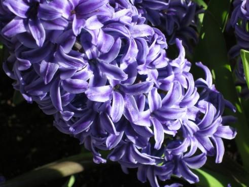 Blue Hyacinth Spring Flowers