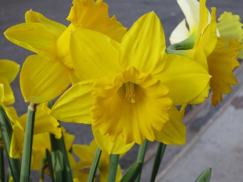 Daffodils Spring Flowers