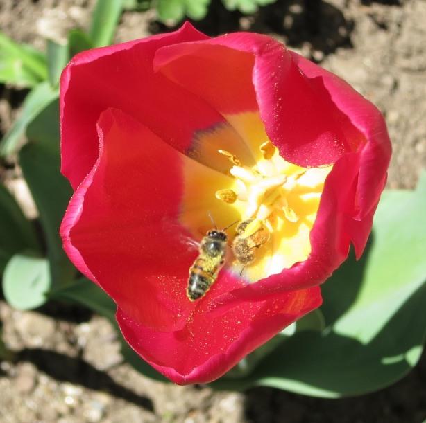 Pink Tulip Bee Collecting Pollen