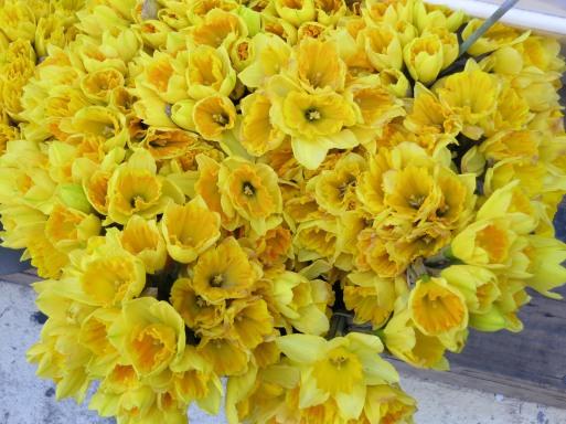 Spring2012daffodils