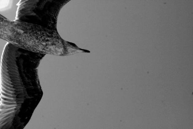 Alberto Pickers Pou Photo Seagull