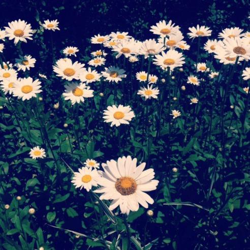 Daisies Summertime Flowers