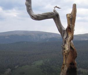 Bone Mountain Bristlecone Wood